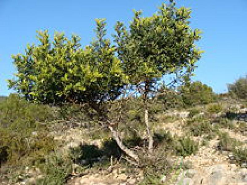 Algarrobo Imagen